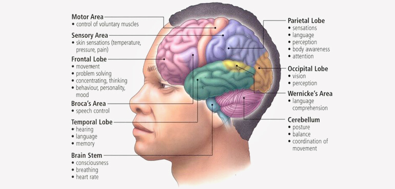 human brain structure and their functions in human body, Muscles