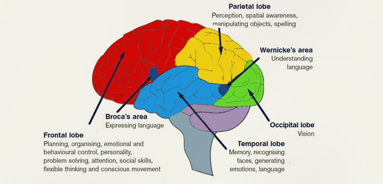 human brain functions - functioning of human brain with diagram, Human Body