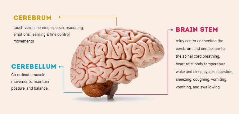 top 10 most interesting facts about the human brain, Muscles