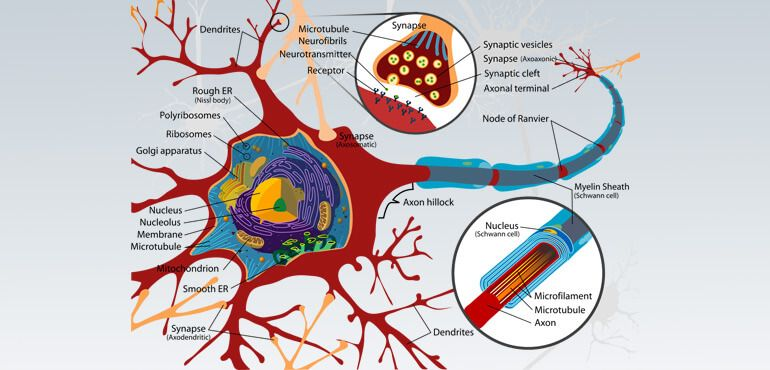 How Many Neurons in the Human Brain?