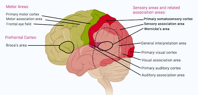 human brain functions - functioning of human brain with diagram, Muscles