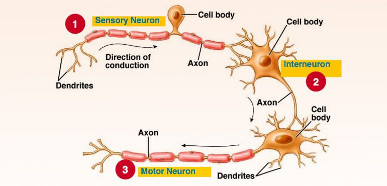 Neurons in the Brain - Types of Neurons