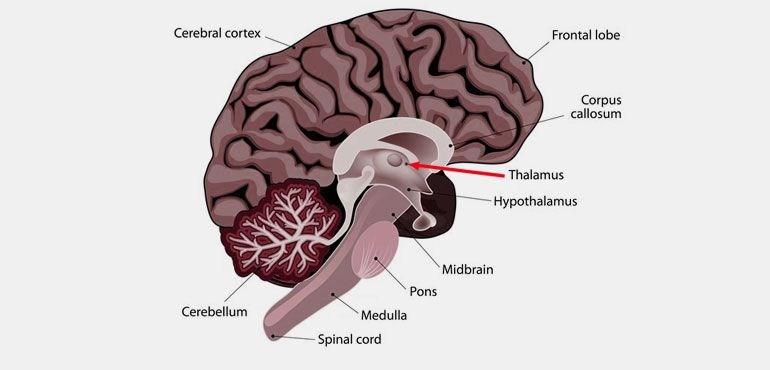 What is Thalamus Responsible for Picture